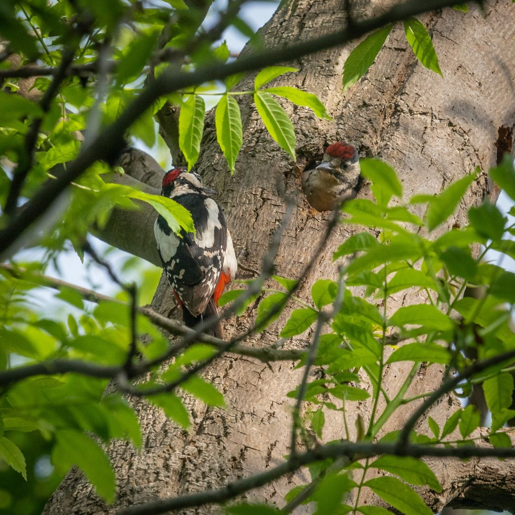 two woodpeckers on the side of a tree, one poking its head out of the hole in the trunk,